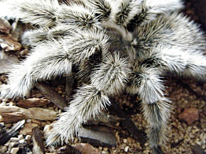 I used to have a pet tarantula, she's passed away... I miss her sometimes, but I don't really believe it's right to own exotic pets- wouldn't of had had her if it wasn't an adoption scenario EyeEm Close-ups Eye Em Animals EyeEm Animal Lover Check This Out Close-up Animal Arachnid Chilean Rose Hair Rose Hair Tarantula Hairy  Hairy Legs  Female Spiders Eyeem Best Shots - Animals EyeEm Pets