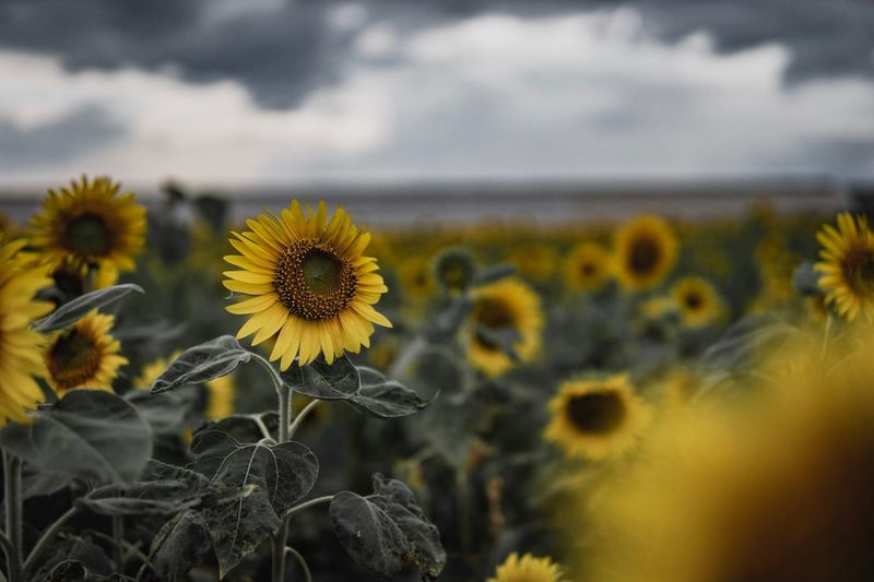 Flower Flowering Plant Plant Freshness Yellow Fragility Growth Day Sunflower Field Focus On Foreground Outdoors Close-up Nature No People Vulnerability  Inflorescence Flower Head Beauty In Nature Petal