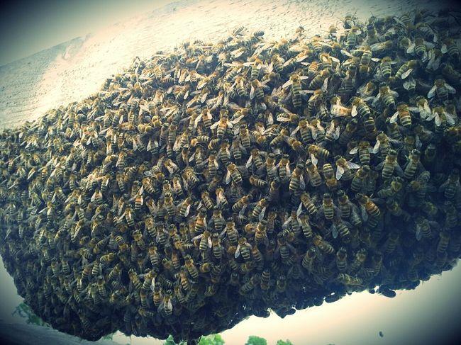 Bienen  Schwarm Schleswigholstein Zwanzig15