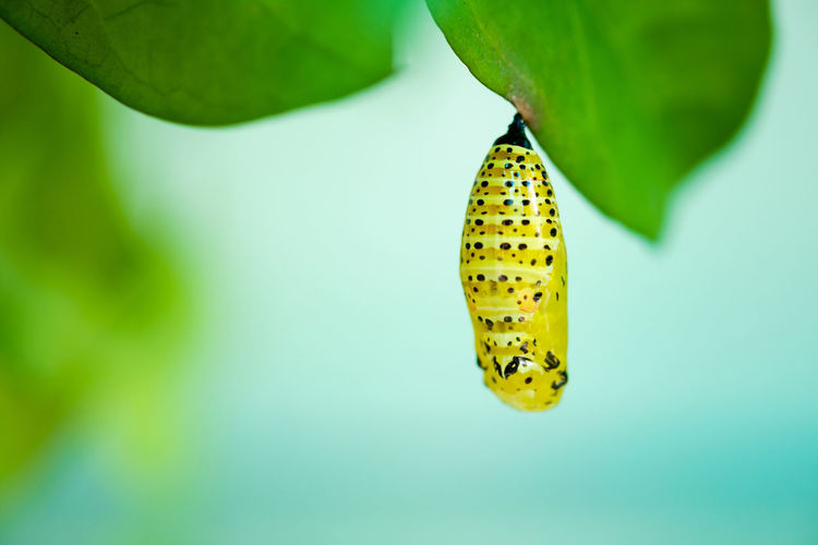Close-up of cocoon on leaf