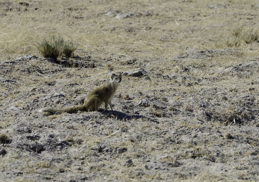 Yellow mongoose. Cynictis penicillata Tourist Africa Animal Themes Animal Wildlife Animals In The Wild Carnivor Carnivore Day Mammal Mongoose Nature No People One Animal Outdoors Predator Prey Animal Safari Safari Animal Tourism Yellow Mongoose