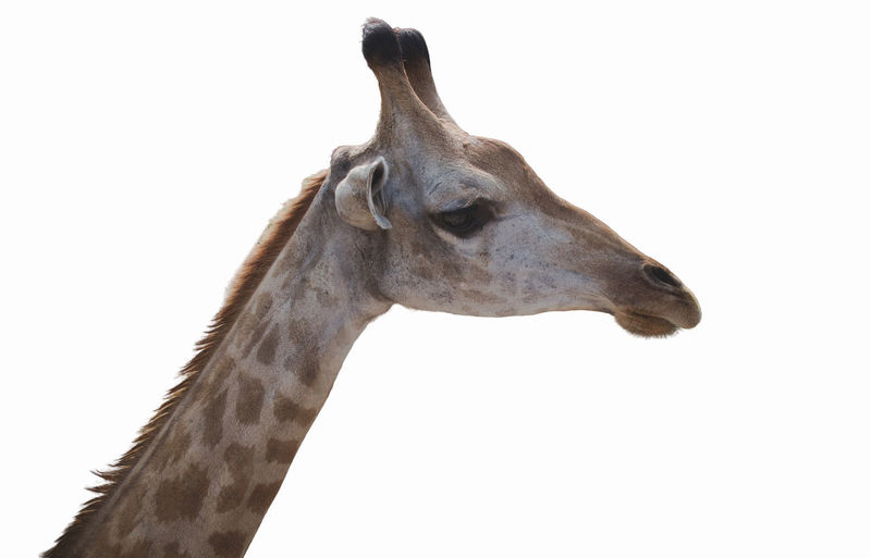 Close-up of giraffe against white background