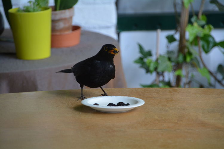 Blackbird feeding on retaining wall