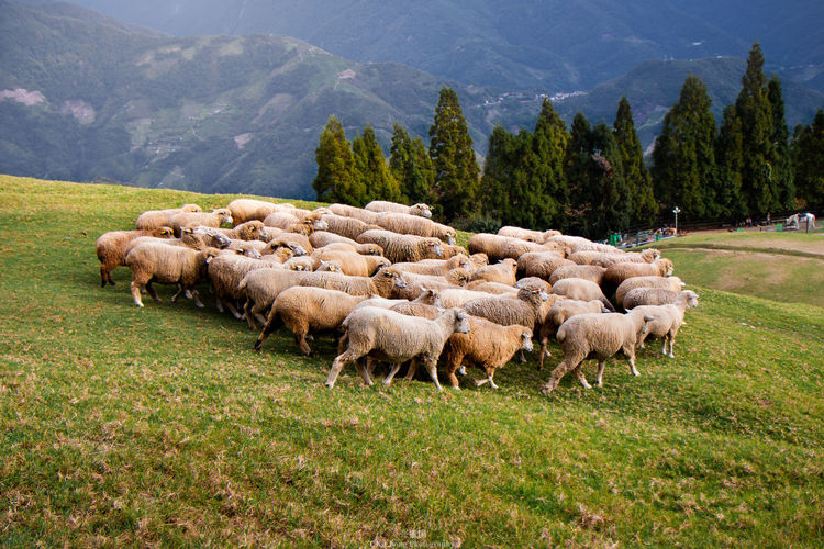 Flock Of Sheep Walking On Grassy Field