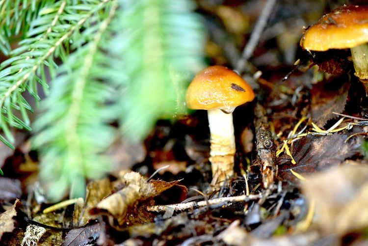 Fungus Mushroom Growth Plant Close-up Vegetable Nature Toadstool Focus On Foreground Day Forest Food No People Beauty In Nature Leaf Land Selective Focus Tree Outdoors Field