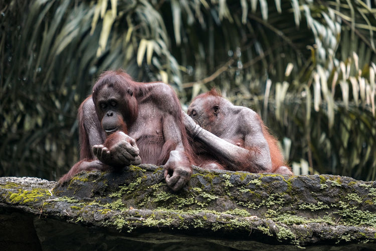 Old orangutan looking for lice from his friend's body on the big stone