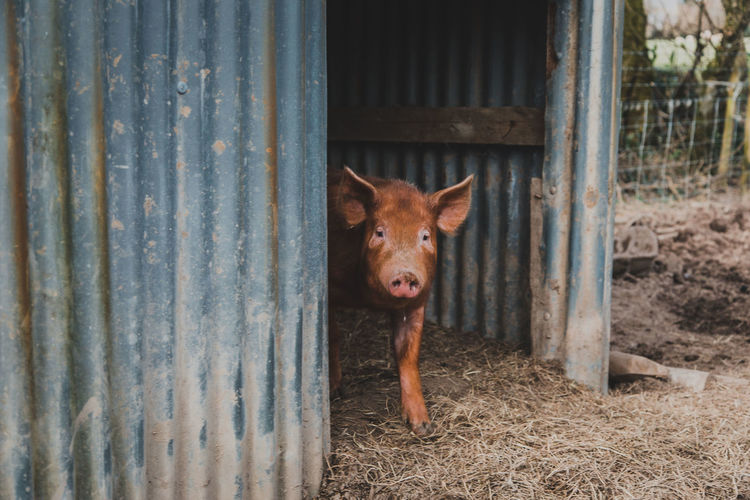 Mammal One Animal Pets Domestic Domestic Animals Animal Themes Animal Dog Canine Vertebrate Looking At Camera Fence Boundary Portrait Barrier Day No People Brown Metal Livestock Animal Head