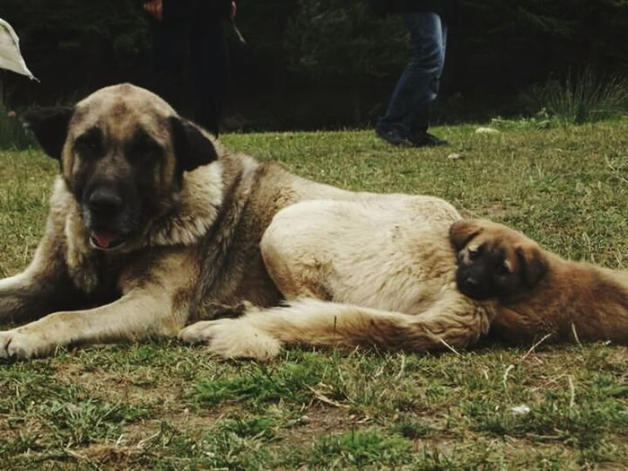 Family Dog Turkey Abantgölü Strikeapose