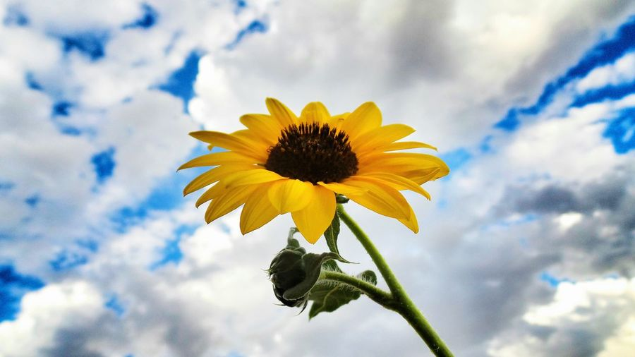 Here again ;-) SUNFLOWERS ♡ Sky_ Collection Macroclique Streamzoofamily EyeEm Best Shots - Flowers