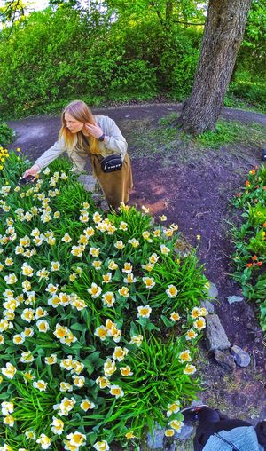 Tulip Tulips