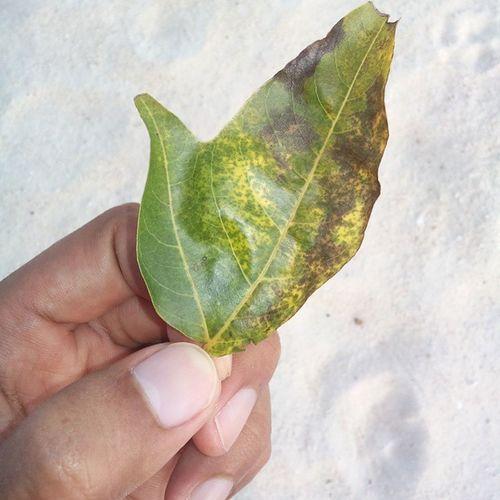 Lucky leaf, I think! Luck Luckycharm Leaf MOLAVE