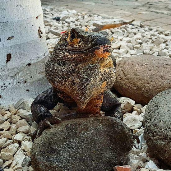 Playahermosa Guanacaste  Beach Iguana