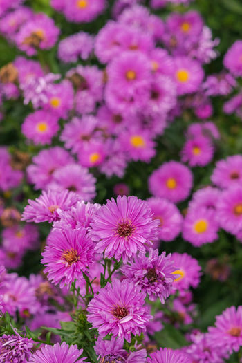 colourful crowd field of purple cutter flowers. Beauty In Nature Blooming Close-up Day Flower Flower Head Fragility Freshness Growth Nature No People Outdoors Petal Plant Purple Purple Flower Purple Flowers Purple Flowers Field