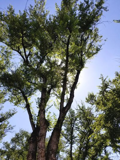 Trees Trees And Sun Trees And Sky Low Angle View Greenery Tree Branches No People Beauty In Nature Outdoors Day Growth Tree Trunk