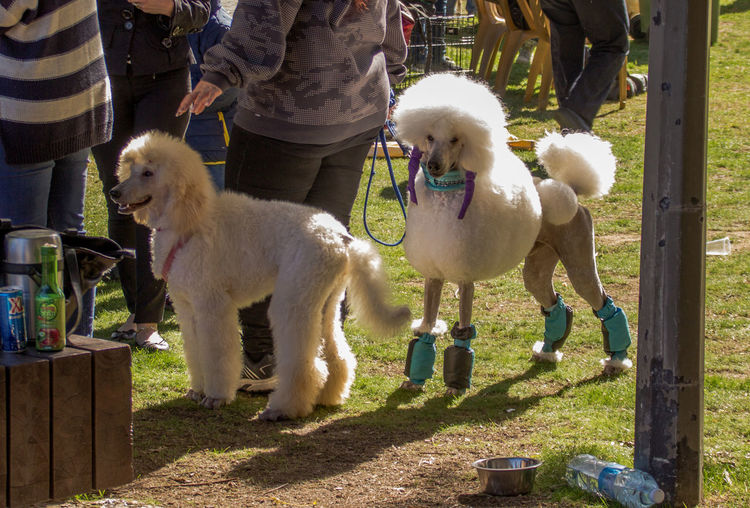 two poodles at a dog show pose for photographers Animal Animal Themes Day Dog Entertainment Festival Mammal People Photographer Poodels Pose Posing Show Two Two Animals