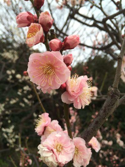 京都 梅小路公園 梅