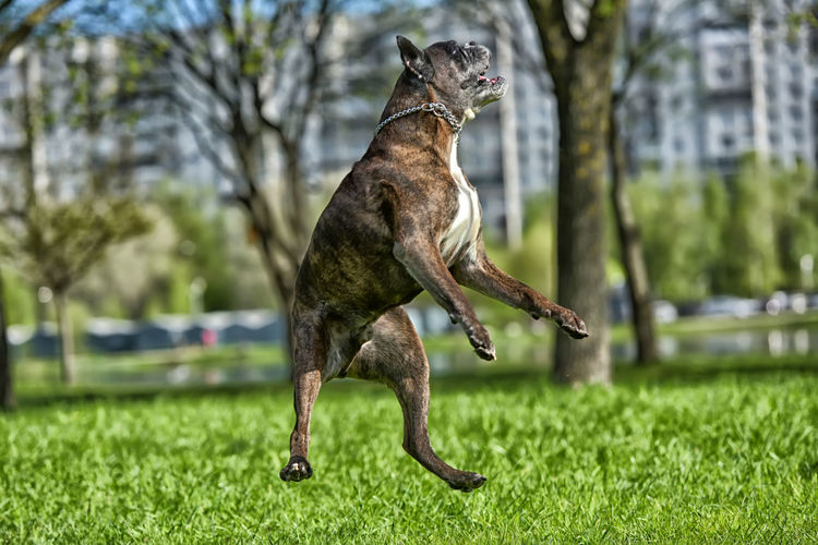 Close-up of dog jumping on grass