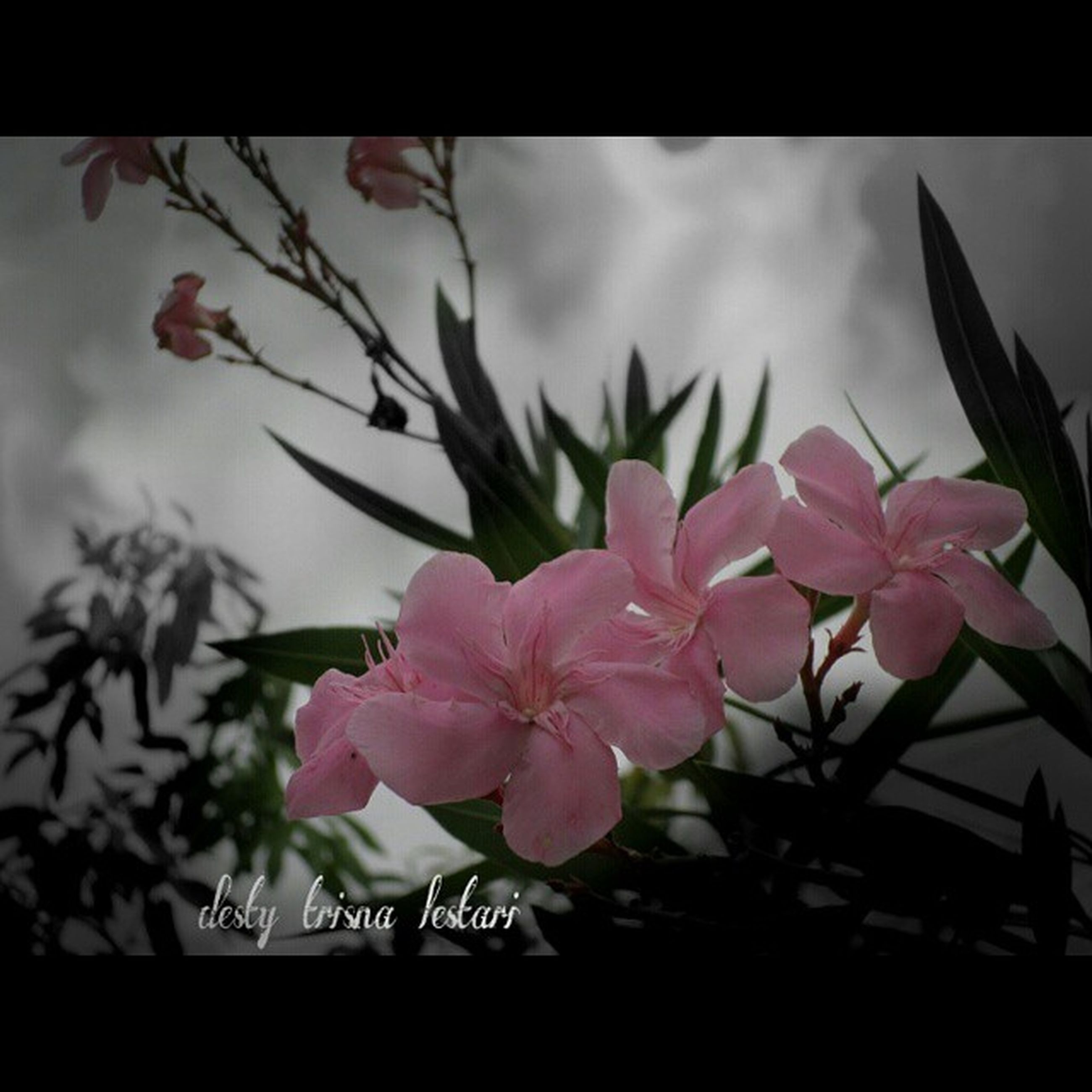 flower, freshness, growth, fragility, petal, pink color, beauty in nature, nature, plant, close-up, auto post production filter, transfer print, flower head, leaf, sky, indoors, branch, stem, blooming, focus on foreground