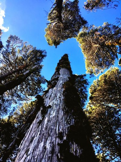 Empty spaces Perfection Of Nature Sequoia Tree Low Angle View Sky Plant Nature Day No People Growth Blue Beauty In Nature Sunlight Backgrounds Clear Sky Outdoors Full Frame Tranquility Tall - High Forest