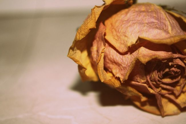 Close-up Detail Dry Flower Flowercloseup Natural Pattern Organic Roses Selective Focus Single Object Temptation