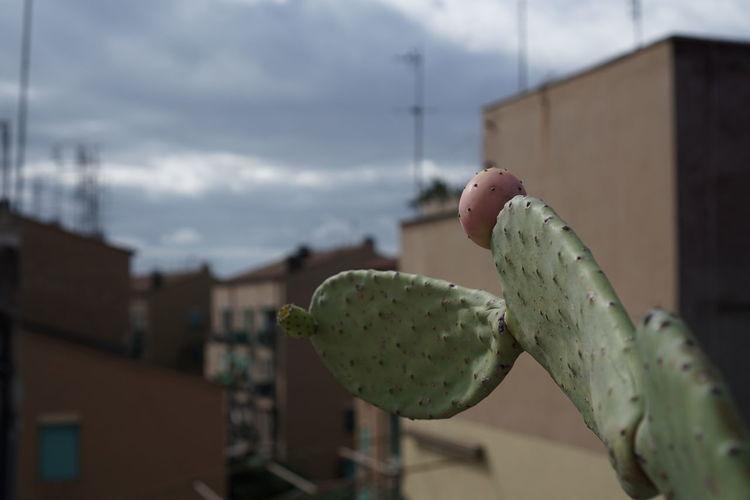 Cactus Cloud Cloud - Sky Day Outdoors Roma Rome Italy Romeroofs Roofs Roofs Of Rome Sky Torpignattara