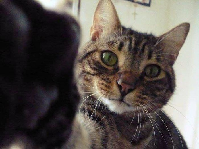 Pets Portrait Feline Domestic Cat Sitting Whisker Looking At Camera Close-up