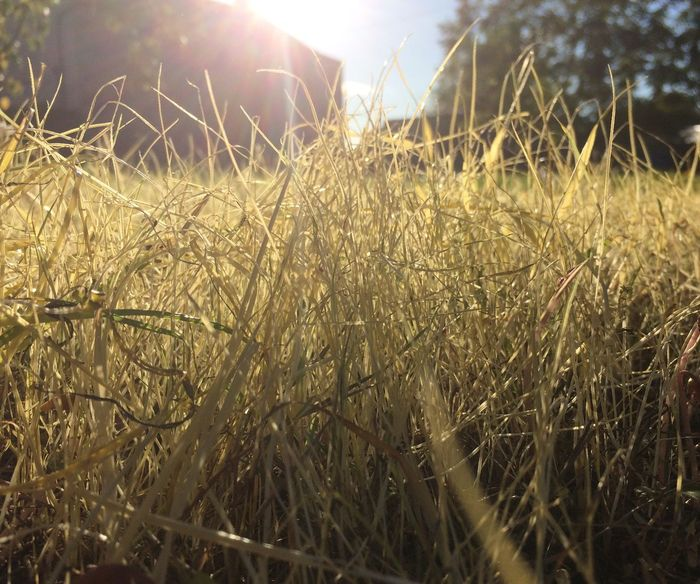 Perspectives On Nature device in grass Field Lens Flare Growth Sunlight No People Outdoors Nature Day Agriculture Tranquility Plant Landscape Grass Beauty In Nature Close-up From My Point Of View Beauty In Nature