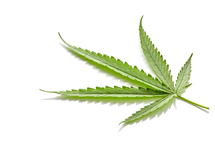 Text Cannabis Leaf Marijuana White Background Hemp Isolated Plant Medical Weed Green Medicine Drug Herb Narcotic Nature Natural Marihuana Herbal Addiction Hashish Legal Culture Legalize Addict Medicinal Addictive Leaves Relax Canabis Ganja DOPE Farm Symbol Abuse Closeup Hash Health Sativa Oil Habit RASTA Pot Single CBD Cbn Thc Plant Part Green Color Studio Shot White Background Close-up Cut Out Indoors  No People Freshness Beauty In Nature Healthcare And Medicine Herbal Medicine Natural Pattern Food Food And Drink