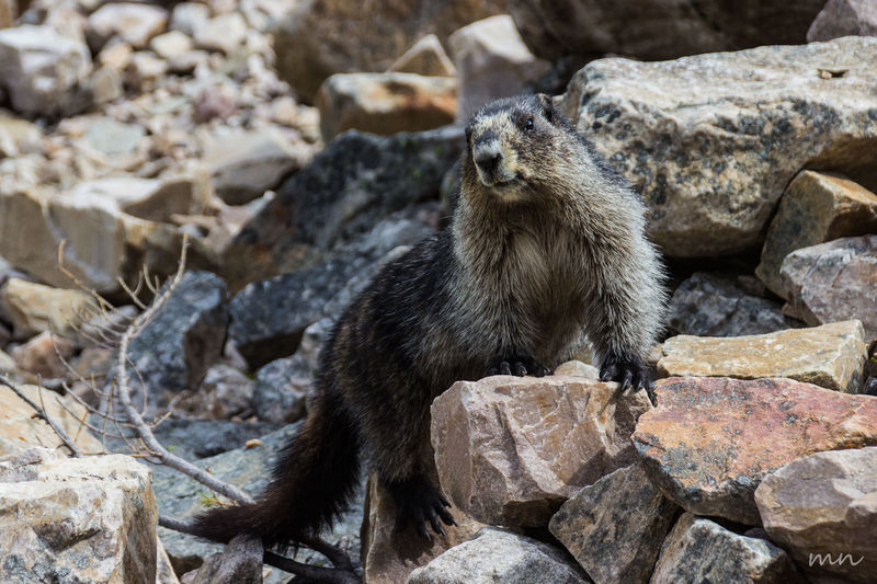 Animal Animal Themes Beauty In Nature Canada Close-up Day Focus On Foreground Mammal Marmot Nature Outdoors Portrait Rock - Object Rocky Mountains Rockymountains Selective Focus Wildlife