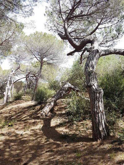 Pinus pinea Tree