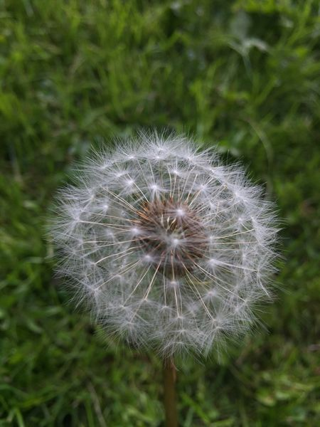 Check This Out Nature Focus On Foreground Iphonephotography Iphone6 Outdoors Day Macro_collection No People Macro Nature Macro_flower Flower Pusteblume Dandelion Dandelion Seeds Dandelion Collection Dandelion Macro
