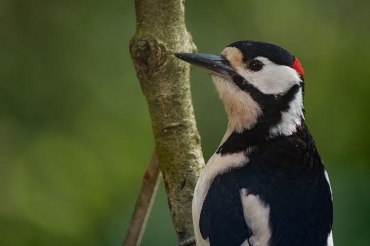 Close-up of woodpecker