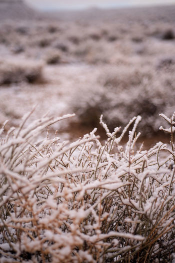 morning snowfall flakes cling to stems of dry desert plants in Eastern Sierra Nevada mountain valley winter landscape in California Cold Temperature No People Land Nature Plant Day Tranquility Close-up Selective Focus Focus On Foreground Beauty In Nature Outdoors Desert Snowfall Desert Snow Desert Plants Desert Landscape Sierra Nevada Snow