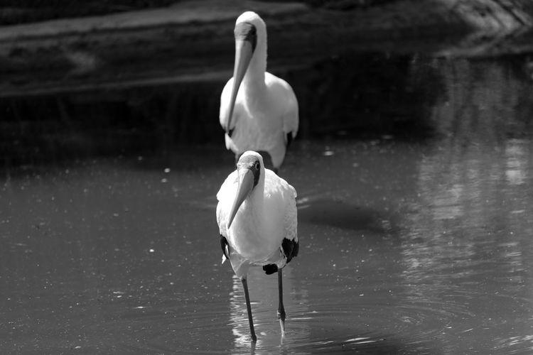 White ibis birds in lake