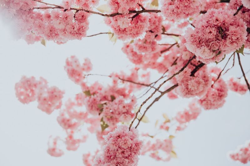 Spring Has Arrived Exploding Nature Spring Time Pink Flowers Hattingen Cherry Blossoms Cherry Blossom Tree EyeEm Selects Pink Color Plant Flower Flowering Plant Fragility Freshness Growth Tree Beauty In Nature Blossom Springtime Low Angle View Close-up Cherry Blossom Nature