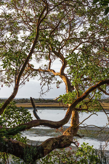 Arbutus Tree Madrona Tree Beach Beauty In Nature Branch Day Growth Lagoon Water Lake Land Nature No People Outdoors Plant Scenics - Nature Sky Tranquil Scene Tranquility Tree Tree Trunk Trunk Water
