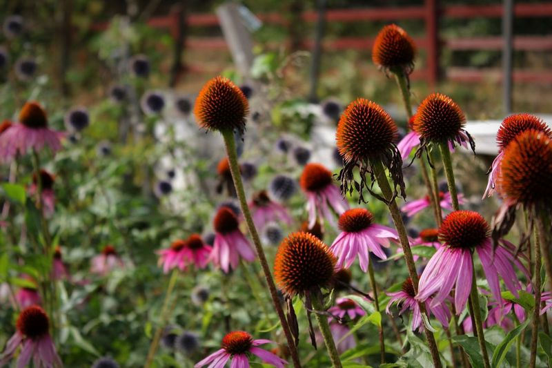 Close-Up Of Eastern Purple Coneflower Blooming In Garden