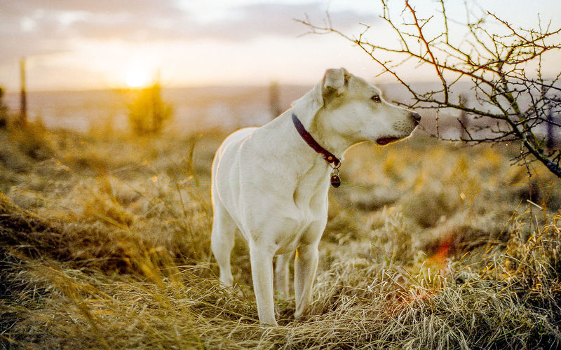 Animal Themes Day Dog Domestic Animals Field Grass Mammal Nature No People One Animal Outdoors Pets Sky