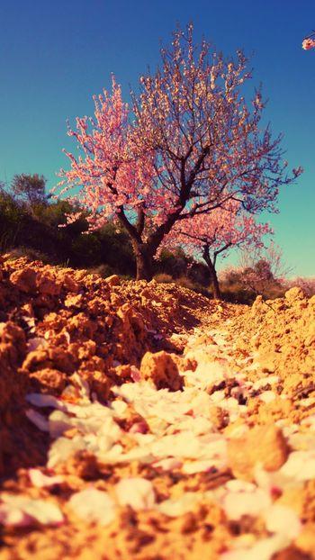 Pink Flower Mediterranean Nature Almond