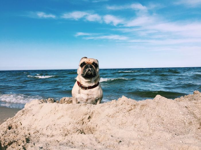 Portrait Of Pug At Beach Against Sky