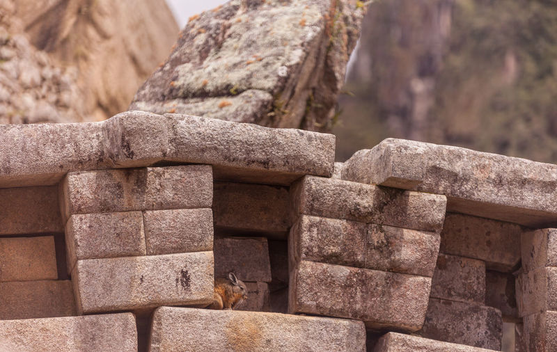 Rabbit in between stone wall at machu picchu