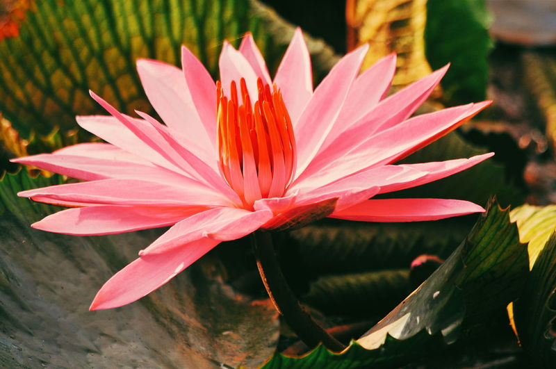 Water Lily on Lake Flowers EyeEm Selects Pink Flower Landscape Flower Collection EyeEmNewHere Lotus Flower Flower Head Flower Water Springtime Pink Color Petal Close-up Plant Eastern Purple Coneflower Lotus Water Lily Lotus Lily Pad Floating On Water In Bloom Day Lily Plant Life Water Lily