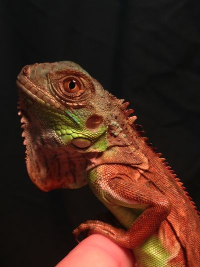 Iguana Reptiles My Beauty