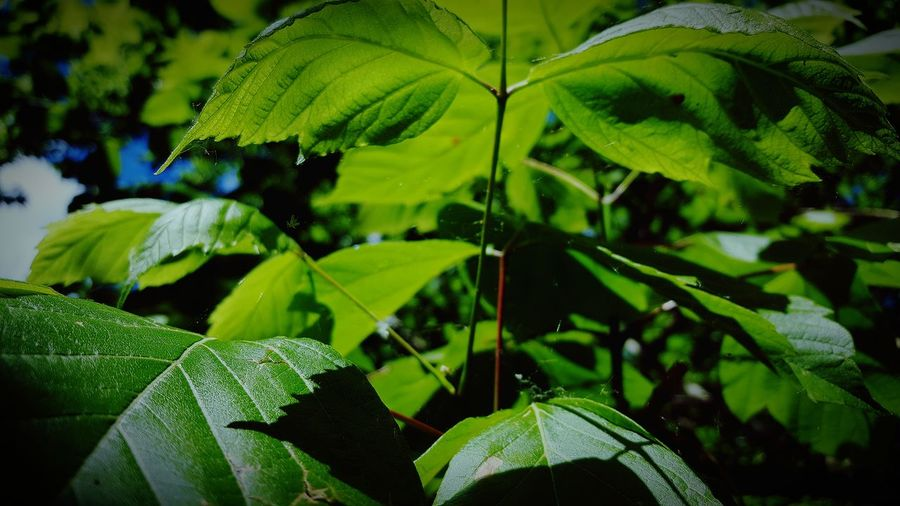 Green leaves...