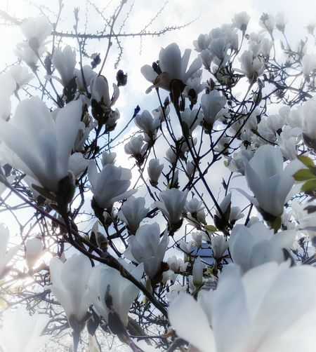 """""""FlowerPower"""" AntiM Beauty In Nature Blooming Blossom Branch Cherry Blossom Close-up Day Flower Flower Head Fragility Freshness Growth In Bloom Low Angle View Nature Petal Springtime Tree White White Color The Great Outdoors - 2016 EyeEm Awards Natures Diversities"""