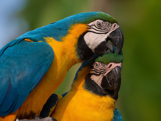 Animal Themes Animal Wildlife Animals In The Wild Ara Ararauna Beak Bird Blue-and-yellow Macaw Close-up Day Gold And Blue Macaw Macaw Mammal Multi Colored Nature No People One Animal Outdoors Parrot Perching Yellow