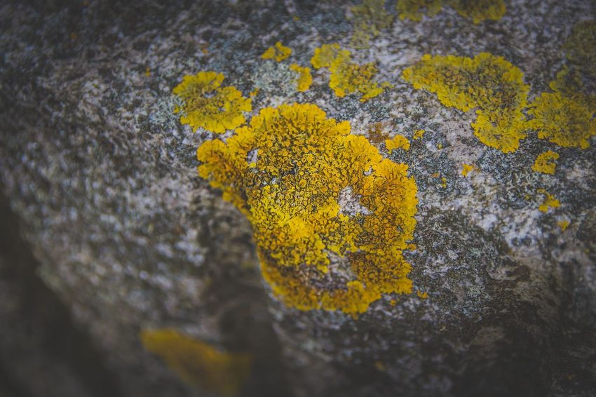 Yellow Lichen Rough Close-up Outdoors Nature No People Selective Focus Textured  Day Tree Trunk Beauty In Nature Flower Growth Fragility Fungus Tree Freshness