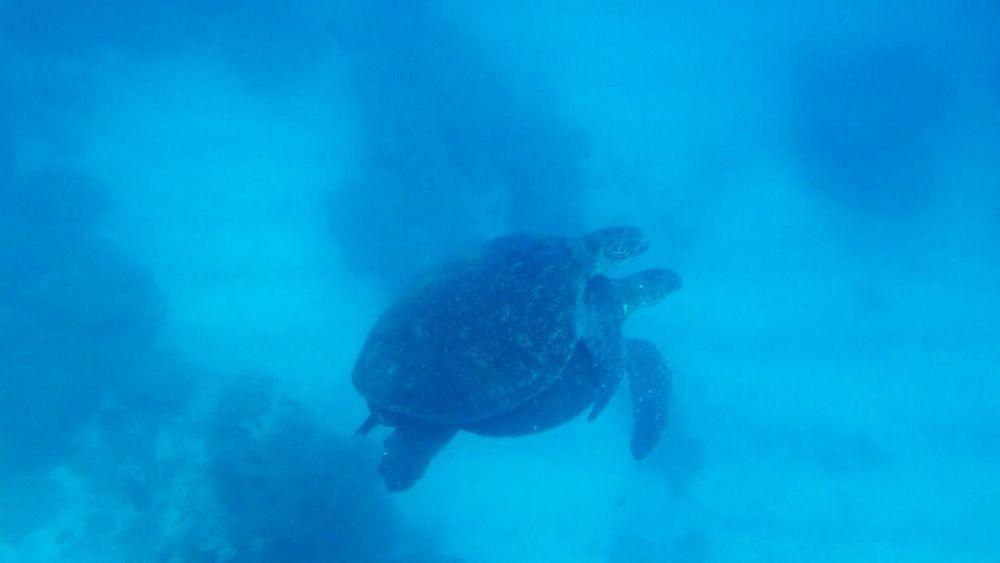 アオウミガメのカップルをよく見かけるようになりました^ ^