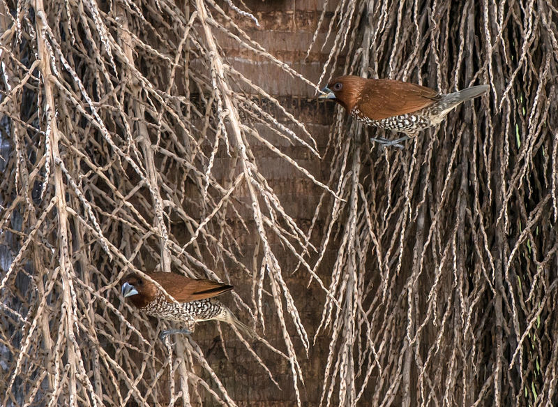 A pair of Munia Birds Brown Freather Chocolate Munia Hide And Seek Munia Pair Munia Small Birds Nritzz