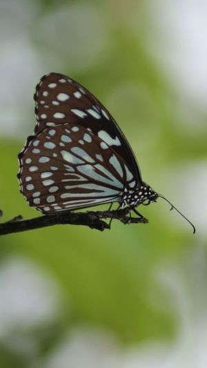 Butterfly Macro Photography Canon 600d 70-300mm Hruturaj Zagade Bluetigher Check This Out Pune